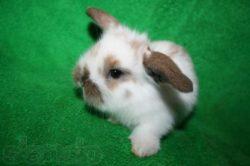 Разведение карликовых (декоративных) кроликов