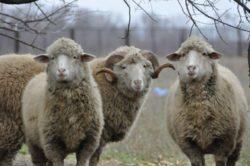 Разведение овец как бизнес: план овцеводства по разведению баранов
