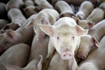 Бизнес Планы Свиноводства