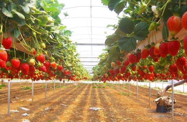 Выращивание клубники в промышленных масштабах как бизнес 72