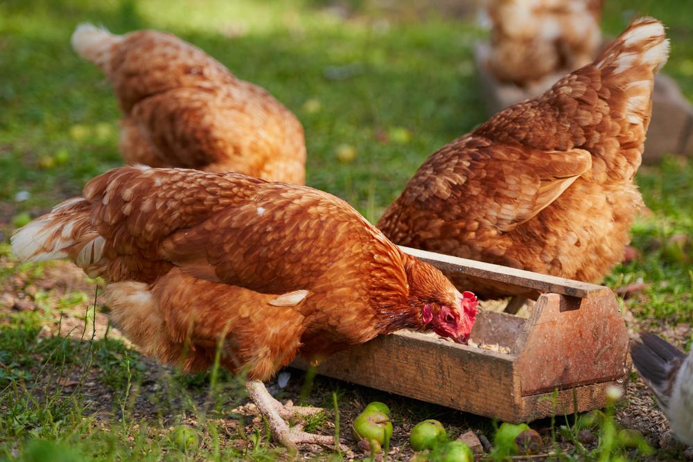Бизнес план куриной фермы