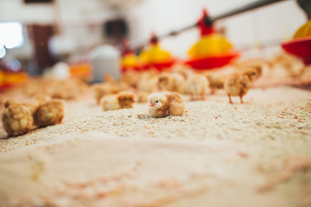 Регистрация бизнеса птицефермы