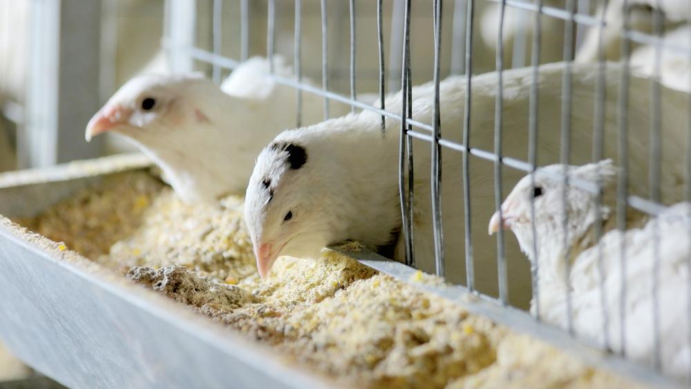 Бизнес план птицефабрики с подробными расчетами представлен на этой странице