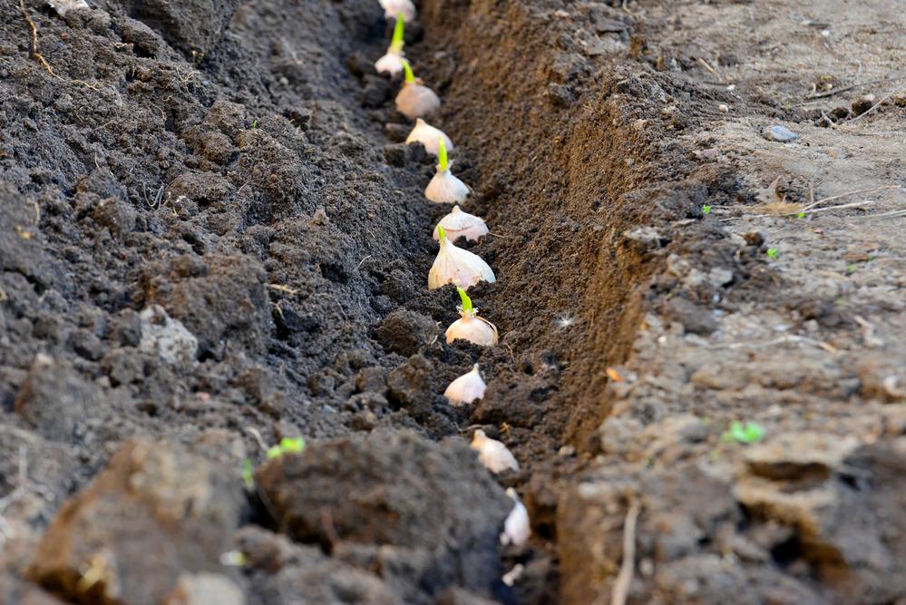 Бизнес-план по выращиванию чеснока с расчетами