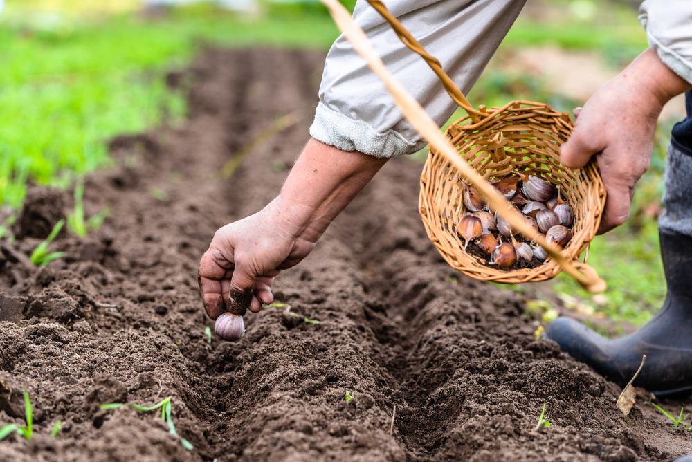 Для выращивания чеснока по бизнес-плану потребуется не менее 500 тысяч рублей