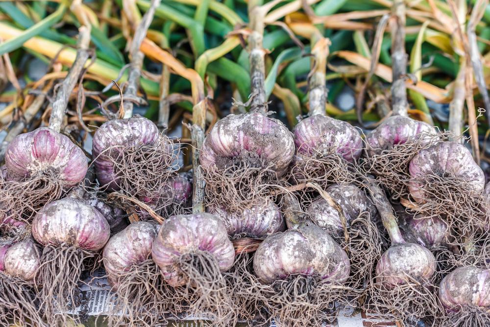 Успех выращивания чеснока зависит от количества посевной площади и выбранного сорта