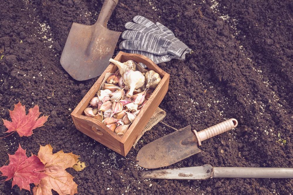 Минимальная площадь для выращивания чеснока составляет 1 га