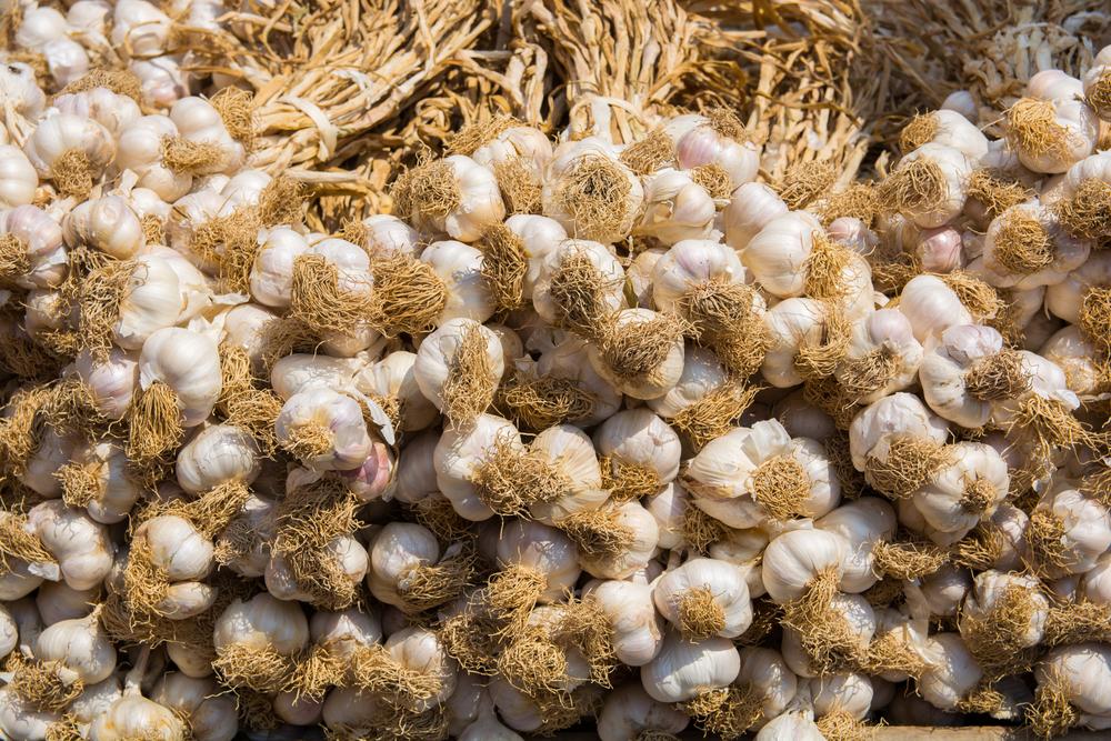 Сорта чеснока в бизнес плане для фермера