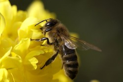 Пчеловодство: разведение пчел, производство меда